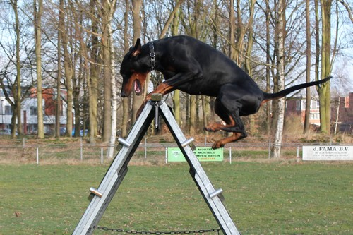 Dobermann Iron